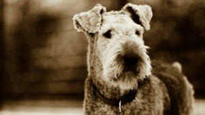 dog-airdale-terrier-breed-cultureandcream-blogpost