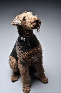 hund-airdale-terrier-haustier-cultureandcream-blogpost